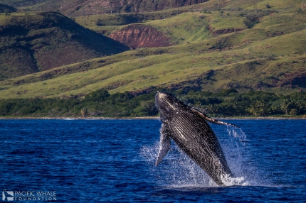 Whale Breach with West Maui Mountains in Background