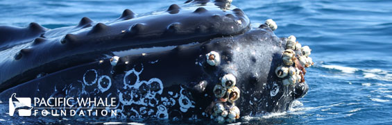 Whale with barnacles and whale lice
