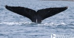 A humpback whale tail. This body part is used for photo-identification. Photographed under NOAA permit # 16479.
