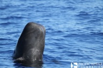 A short-finned pilot whale. Photographed under NOAA permit # 18101.