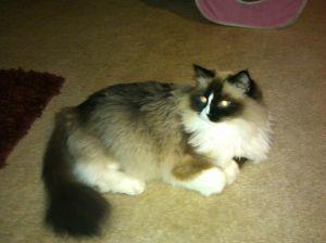 Cat eye reflection from camera flash. Photo courtesy of Shanoaleigh Roseby.