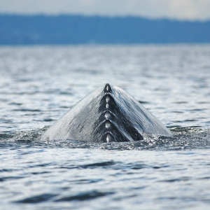 Grey Whale dorsal ridge - front view. Photo courtesy of Flickr user Minette Layne.