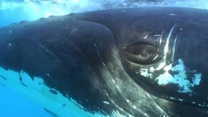 Humpback Whale Eye