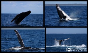 Active humpback whales in Hervey Bay