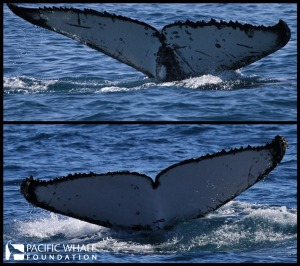 Humpback whale tails, Hervey Bay