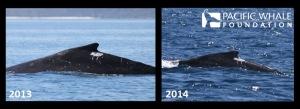 Paint drip dorsals 2013-2014 IIjpg