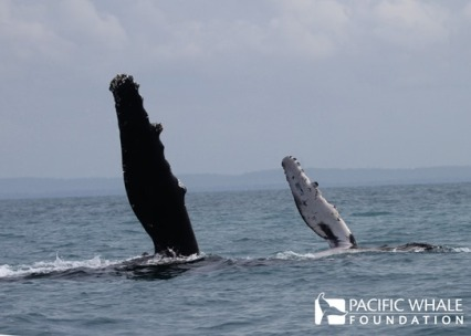 """Mother and her calf doing a """"pec slap"""" when a whale slaps the surface of the water with one or both of its long pectoral flipper (roughly 1/3 of the body), creating a loud sound. Photo taken under QLD permits: QS2011/GS040 and Registration #307."""
