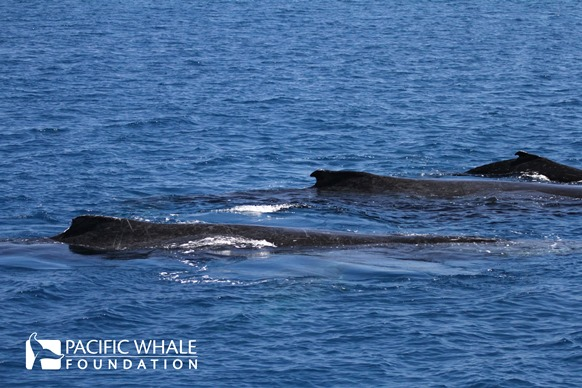 An escort is defined as a whale accompanying a mother and her calf, which are generally found to be male. Photos taken under QLD permits: QS2011/GS040 and Registration #307.