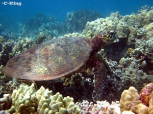 Adult Hawksbill Turtle. Photo courtesy of Cheryl King, Hawaii Wildlife Fund.