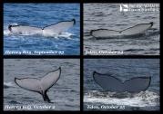 Resights between Hervey Bay and Eden in 2014. Photos taken under permits; QLD: QS2011/GS040, registration #307; NSW: SL100195.