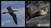 Australasian gannet and Australian fur seal.
