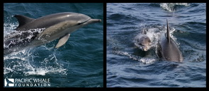 Common dolphin and bottlenose dolphins. Photos taken under permit SL100195.