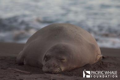 Monk Seal Resting