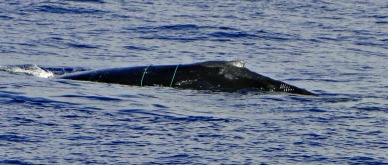 Humpback whale spotted by Ocean Quest on November 11, 2013 wit additional line wrapped around its body. PC: Greg Davis, Pacific Whale Foundation passenger