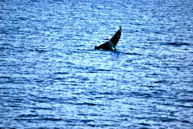 Humpback whale spotted by Ocean Quest on November 11, 2013 with line wrapped around its fluke (tail) PC: Tony Murri, Pacific Whale Foundation passenger