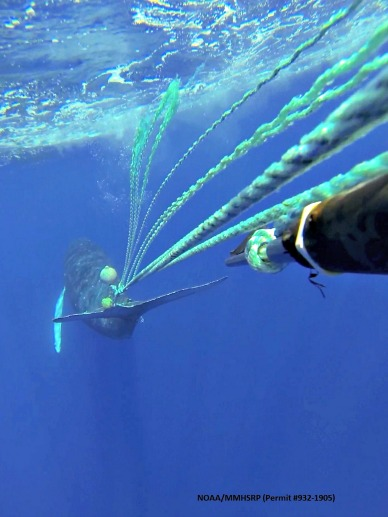 Specialized tools are used to free whales from life threatening entanglements