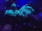 Fluorescent Coral at Maui Ocean Center, photo courtesy of Stephanie Stack