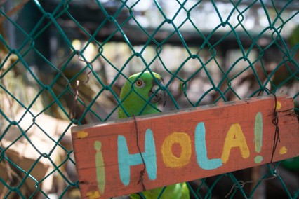 Volunteers at the ARCAS turtle sanctuary Hawaii on Guatemala's pacific coast, rescue various exploited wildlife including captured parrots, where they are rehabilitated and offspring are reintroduced to the wild.