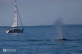 Humpack Whales migration begings in Australia.