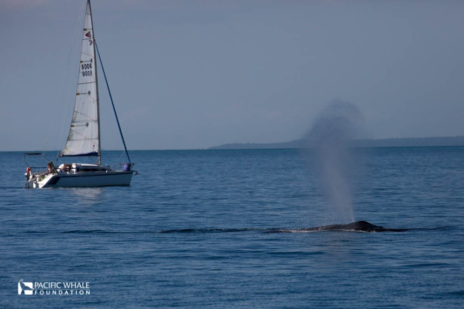 Humpack Whales migration begings in Australia.