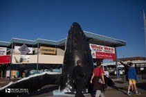 Hervey Bay has been dramatically changed by the annual migration of southern pacific humpback whales.