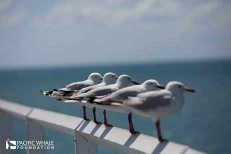 Seagulls line up at Urangon Pier, Hervey Bay.