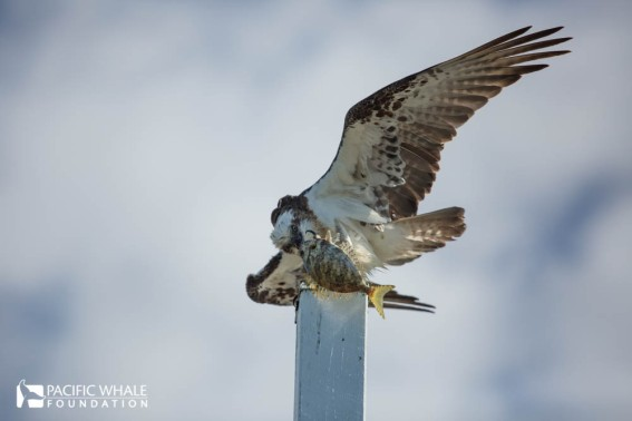 The Osprey, also known as the fish eagle or sea hawk, is a large raptor and a keen fisherman. I captured this guy that just made a successful kill, they can dive to the water's surface from some 30 to 100 feet.