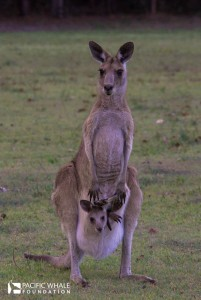 Australia's most symbolic animal and my favorite marsupial, the Kangaroo. This eastern grey kangaroo is found in southern and eastern Australia, with a population of several million. Here mom carries a little Joey.