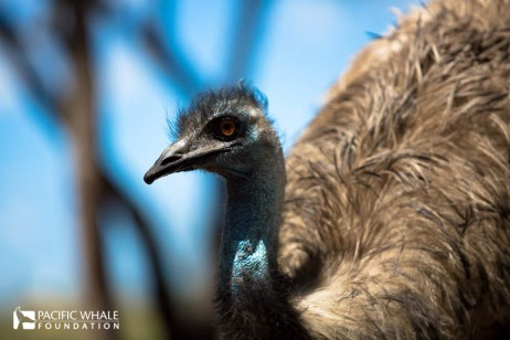 Getting up close to the largest bird in Australia at the Fraser Coast Wildlife Sanctuary, the Emu is second largest in the world after the ostrich.