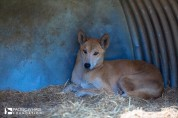 Fraser Island is believed to have the purist breed of dingoes in Australia. This young pup was stolen off the island and later abandoned and now is cared for by the Fraser Coast Wildlife Sanctuary.