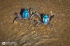 Hundreds of light-blue soldier crabs that come out at low tide to feed.