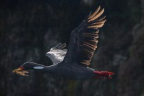 Red-legged cormorant are among a variety of birds seen nesting on cliffs near the coast.