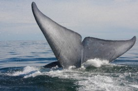 The blue whale, scientifically referred to as balaenoptera musculus, the largest marine mammal growing to lengths of up to 100 ft. long and weighing as much as 150 tons.