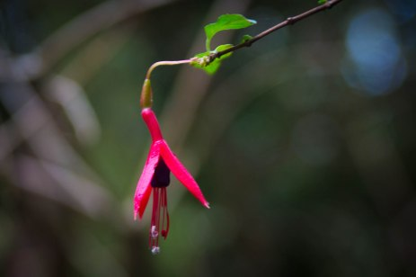 The landscape is full of rich vegetation and beautiful flowers such as various species of Fuchsias that are known for attracting hummingbirds.