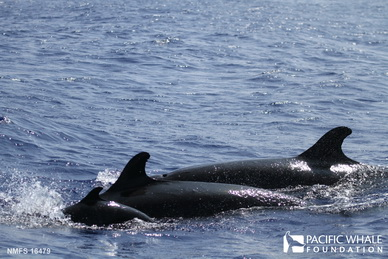 Three individuals from a pod of false killer whales, including a calf (left)