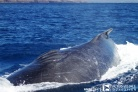 The injury on this humpback whale's back was caused by a collision with a vessel.