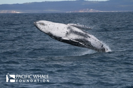 Occasionally, whales jump high enough out of the water that we can use breaching photos to determine the sex of the whale, as with this male. Note the lack of a hemispherical lobe near the genital slit.