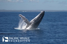 A graceful breach from an adult whale in Hervey Bay