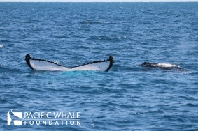 "Some mothers exhibit ""fluke-up feeding"" where they leave their tail flukes out of the water while the calf nurses."