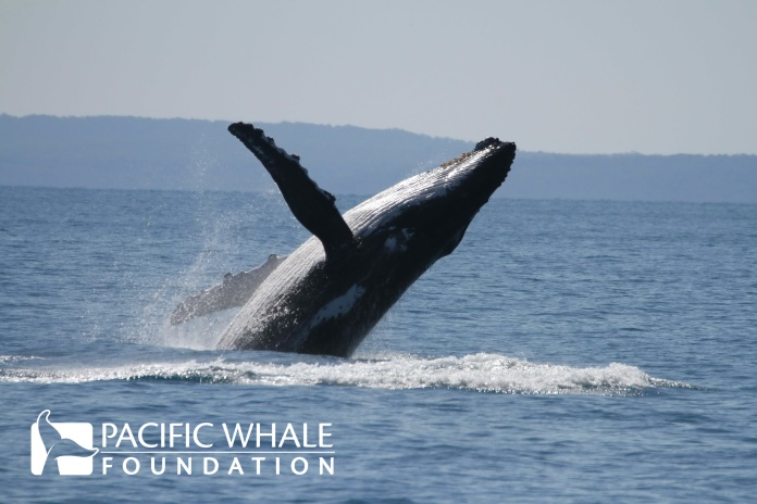A mother breaches close to her calf (not pictured), perhaps to show it how to do the behavior.