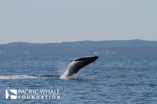 Perhaps this calf is starting to figure out how to breach like the older whales