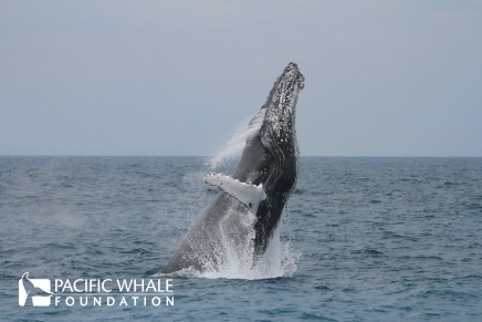 This escort to a mother and calf may have breached to communicate to other whales