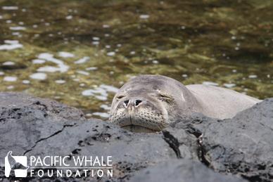 A Hawaiian monk seal relaxing in the sunshine. Maui, Hawaii