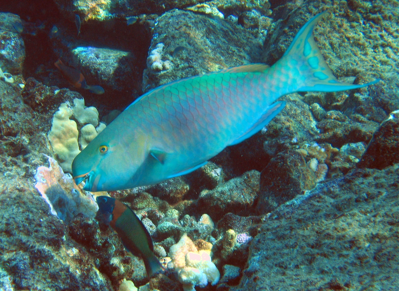 Interesting fact about a Parrotfish: most of the crystal white sand forming tropical beaches is former parrotfish poop: After digesting coral rock, it's excreted as sand.