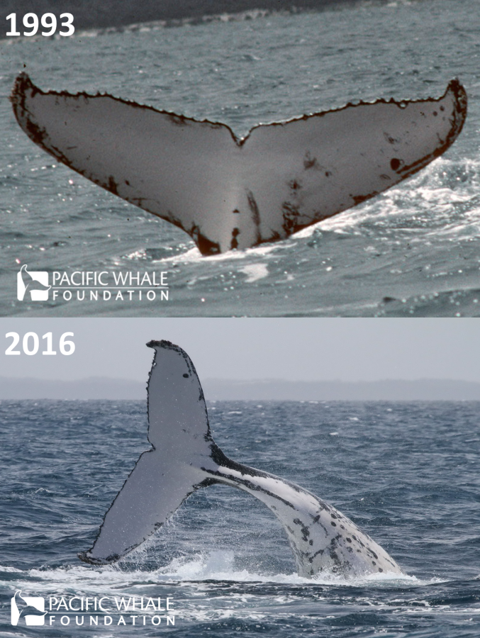 Top: First cataloged photo of #1368, taken in Hervey Bay in 1993. Bottom: Photo of #1368 doing a peduncle throw in Hervey Bay, October 2016.
