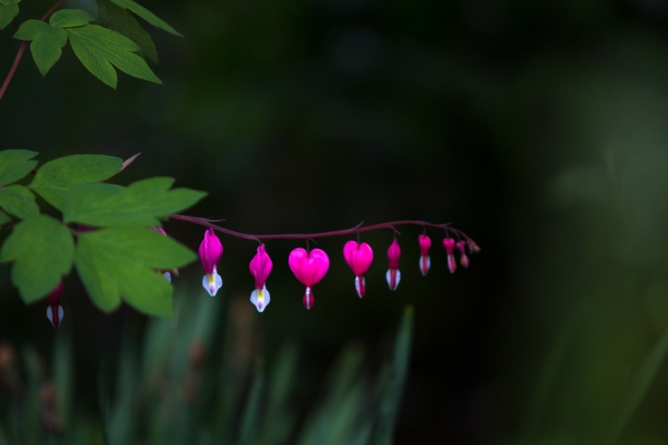 The Bleeding Heart blooms in bright pink and red and is a symbol of true love, while the rarer white species symbolize purity and innocence.