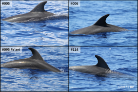 The four bottlenose dolphins seen on our most recent encounter