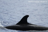 Dorsal image of a false killer whale sighted in 2014