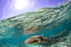 Grean Sea Turtle #aquatica