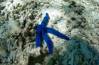 Blue Seastar (Linckia laevigata) #aquatica Lady Elliot